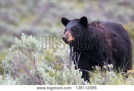 Female American Black Bear (Ursus americanus) in Yellowstone National Park in Wyoming USA