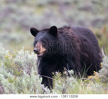 Female mother American Black Bear (Ursus americanus) in Yellowstone National Park in Wyoming USA
