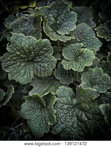 Tellima Grandiflora, Clumping Perennial Plant With Hairy And Scalloped Leaves. Green Leaves Backgrou