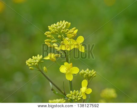 yellow blooms from a rapseed flower in detail