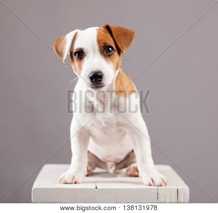 Puppy at home. Crafty Dog studio shot