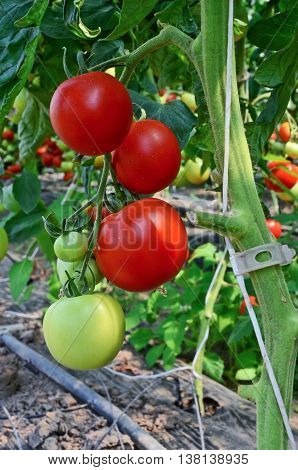 Growing tomatoes in greenhouse. Small - family business in eastern Europe
