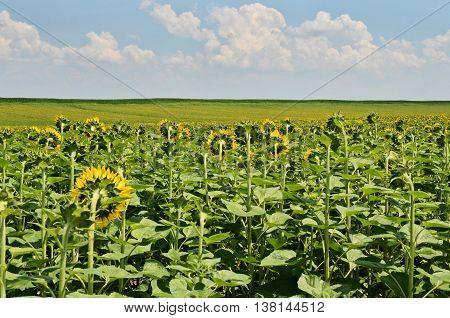 Huge sunflower Field, farming in eastern Europe
