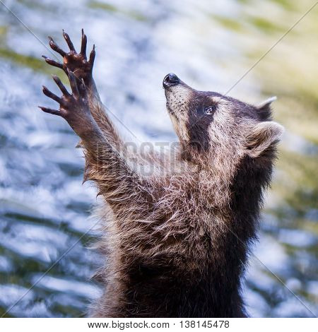 Adult racoon begging for food water background poster