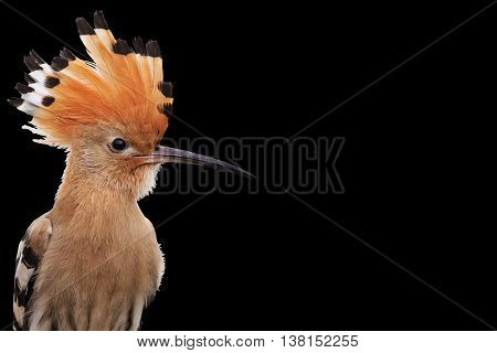 hoopoe disclosed with bangs, colorful bird, an interesting point, good hair, wild bird isolated on black