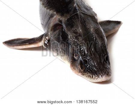 Fresh Sterlet Fish Head