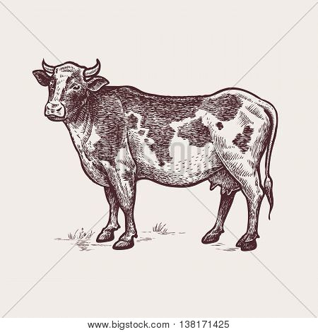 Vector illustration - cattle. A series of farm animals. Graphics handmade drawing. Vintage engraving style. Nature - Sketch. Isolated cow image on a white background.