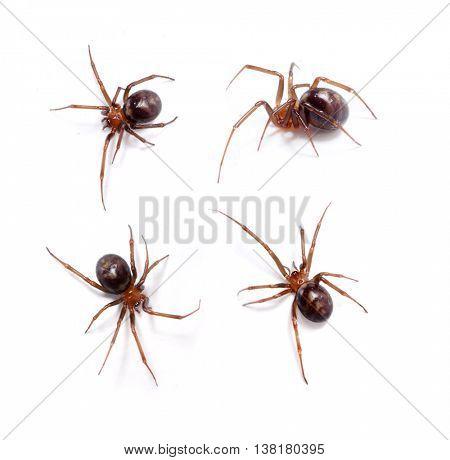 Spider. Steatoda grossa