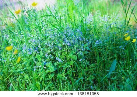 Bird's-eye speedwell Veronica chamaedrys. Wild flowers on a meadow