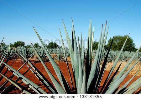 Agave landscape agriculture industry green drink hard