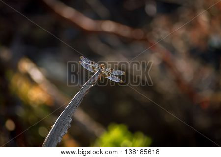 A juvenile widow skimmer dragonfly sits on the edge of a branch as it eats small bugs.