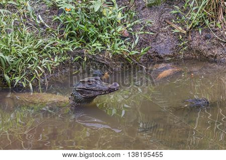 Caiman At Water In Puyo Zoo, Ecuador