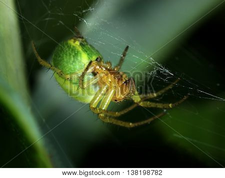 Green spider Araniella Displicata weaving web close-up macro