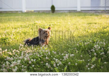 Yorkshire Terrier sitting on green grass. Cute small dog outdoors