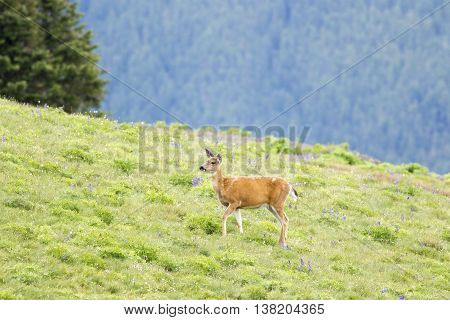 Grazing black-tailed deer on top of Hurricane Ridge in Washington.