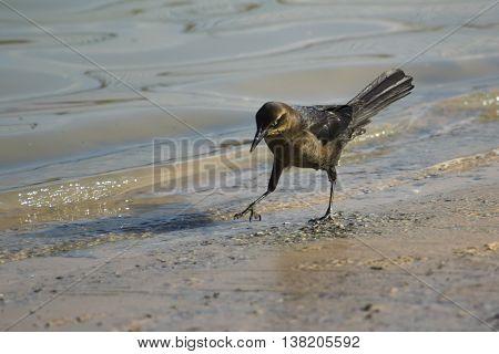 Grackle a black bird pensively walking along the shore of a dog park retention pond.