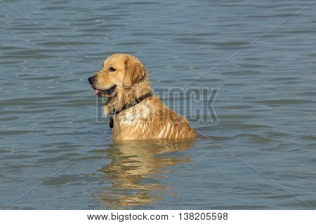 Dog Golden Retriever/ Labrador mix sitting in the cool waters of a retention pond in a dog park taking a break from playing with his canine friends.