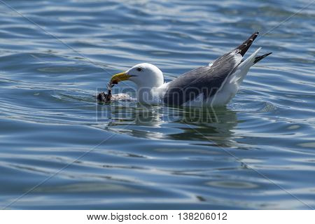 Herring Gull feeds on dead bird in water in Westhaven Cove in Westport Washington.