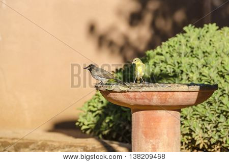 Bulbul (presumably Red-eyed Bulbul) and female weaver in a drinking trough. Damaraland Namibia.