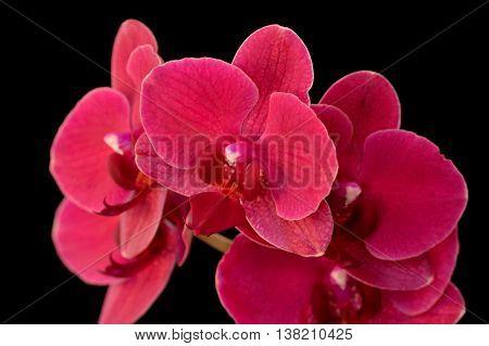 Dark Pink Moth Orchid Against Black