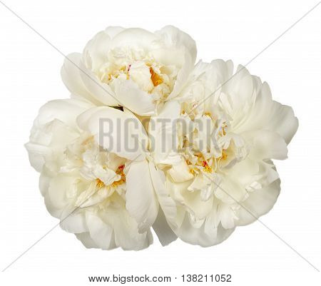 Three White Peony Flowers