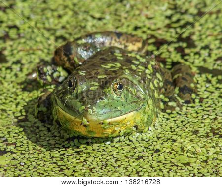a slimy frog in a marsh or pond covered with plant life like moss or algae