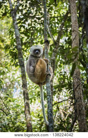 Diademed sifaka lemur on a tree in a forest. Andasibe - Mantadia national park, Madagascar