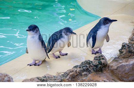 ROCKINGHAM,WA,AUSTRALIA-JUNE 3,2016: Three Little Blue Penguins by water tank at Penguin Island in Rockingham, Western Australia.