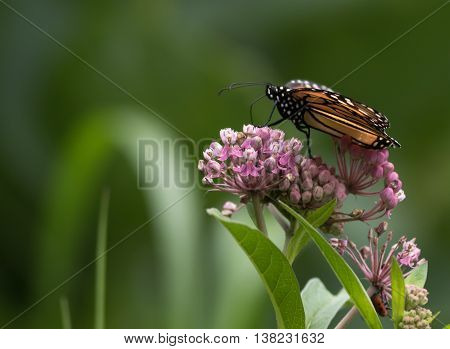 Monarch Butterfly (Danaus Plexippus), a member of the Nymphalidae family is perched down low on Milkweed flower