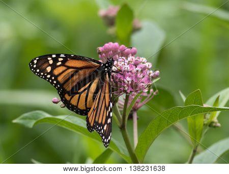 Monarch Butterfly (Danaus Plexippus), a member of the Nymphalidae family is perched on Milkweed flower
