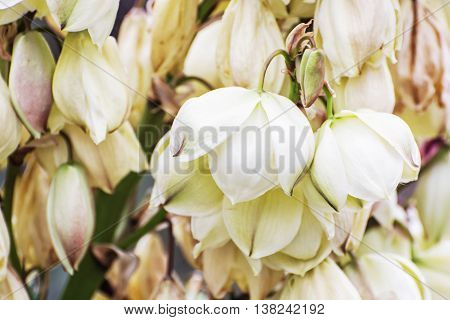 Background of Hesperoyucca whipplei flowers. Chaparral yucca Our Lord's candle Spanish bayonet Quixote yucca or Foothill yucca is a species of flowering plant. Beauty in nature. Macro photo.