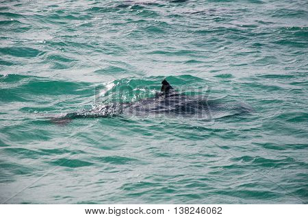 Wild dolphin swimming in the Indian Ocean waters off of Penguin Island in Rockingham, Western Australia.