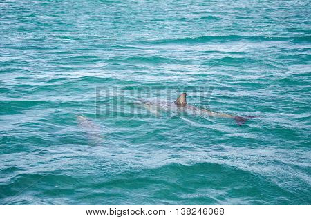 Two wild dolphins swimming in the turquoise Indian Ocean waters off of Penguin Island in Rockingham, Western Australia.