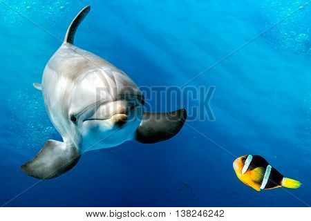 Dolphin Underwater On Blue With Clown Fish Nemo