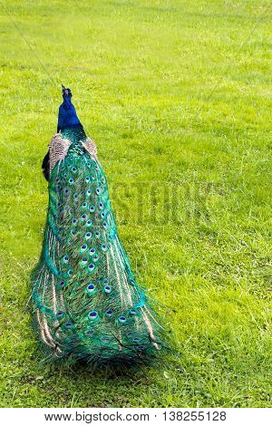 Colorful folded peacock's tail in the background of green grass (vertical)