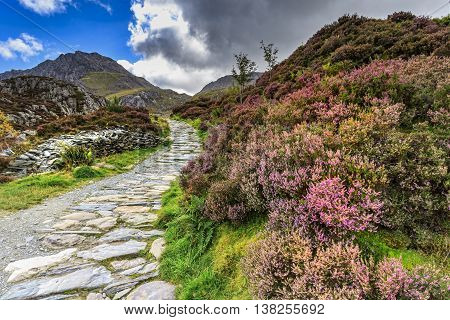 Heather in flower in Snowdonia national park Wales