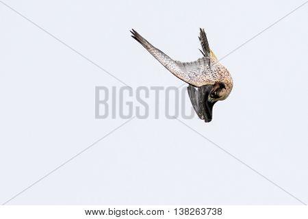 A New zealand falcon (Falco novaeseelandiae) in flight