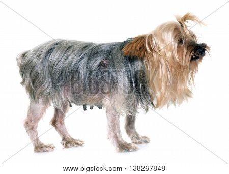 old yorkshire terrier with tumour in front of white background
