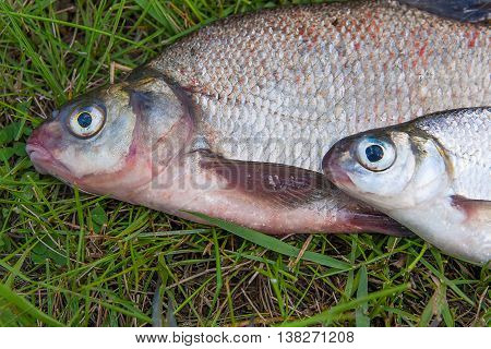 Close Up View Of Common Bream Fish And Silver Bream Or White Bream Fish On Green Grass.