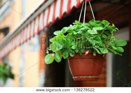 Hanging planter with strawberry bushes in the street
