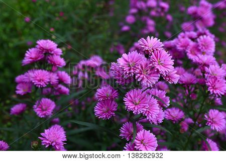Purple Aster amellus in the morning sunlight