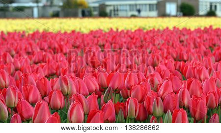 Colorful Tulip Flowers Growing in Field. Red and yellow tulip field in Holland.