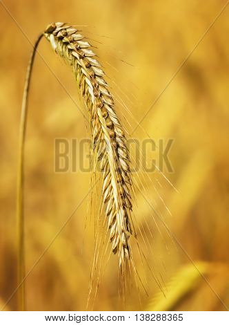 Rye field or wheat field in the sun with defocused background. Selective focus of ears of rye, nature background with copy space. Cereals plants in the sunset.