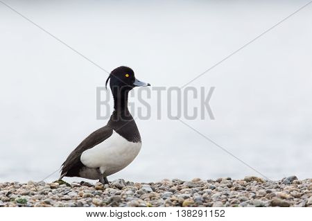 Portrait of male tufted duck (Aythya fuligula) standing on stone beach