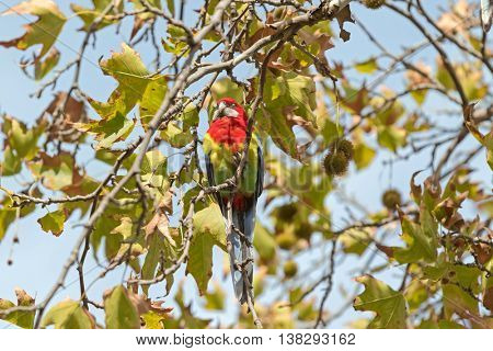 Colorful Eastern Rosella bird resting on Sweet Gum tree branch during Autumn in South Australia