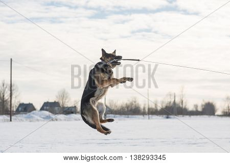 German shepherd dog jumping in snow outdoor. Winter background.