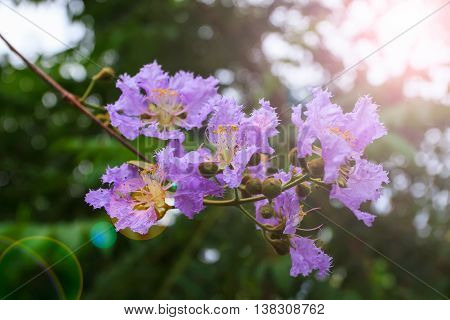 Beautiful purple flower soft focus of Cananga odorata flowers, Thai Flower Tabak