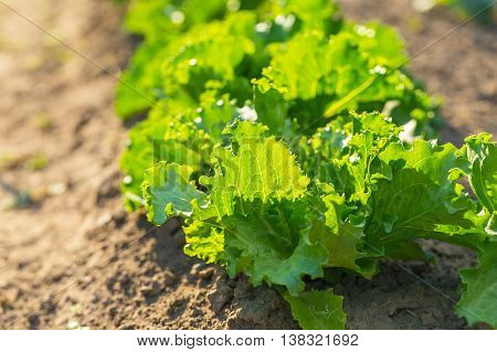 Lettuce Growing In Garden At Summer