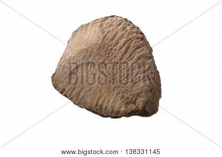 Brazil walnut close up on the white