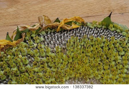 a fragment of a small sunflower on wooden boards